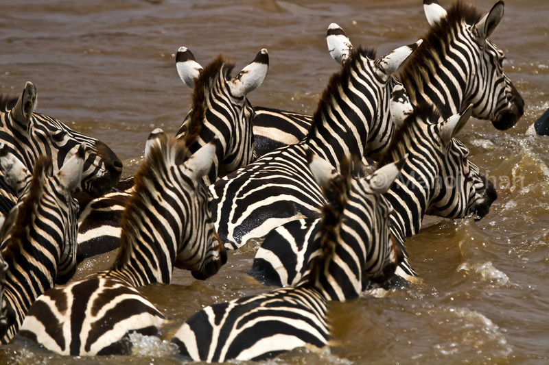 Zebras crossing the river