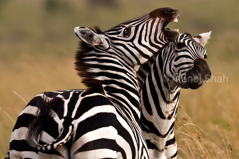 zebras play fighting
