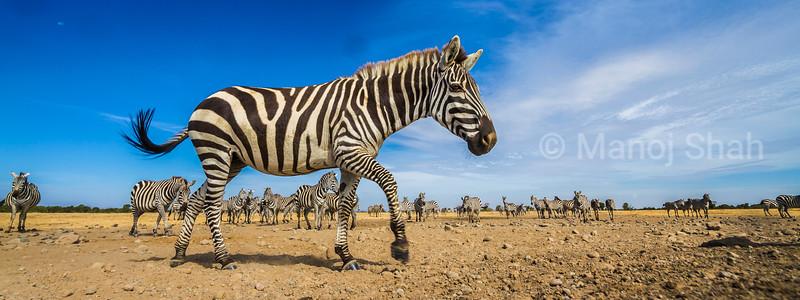 Zebra trotting in front of the herd in Laikipia, Kenya