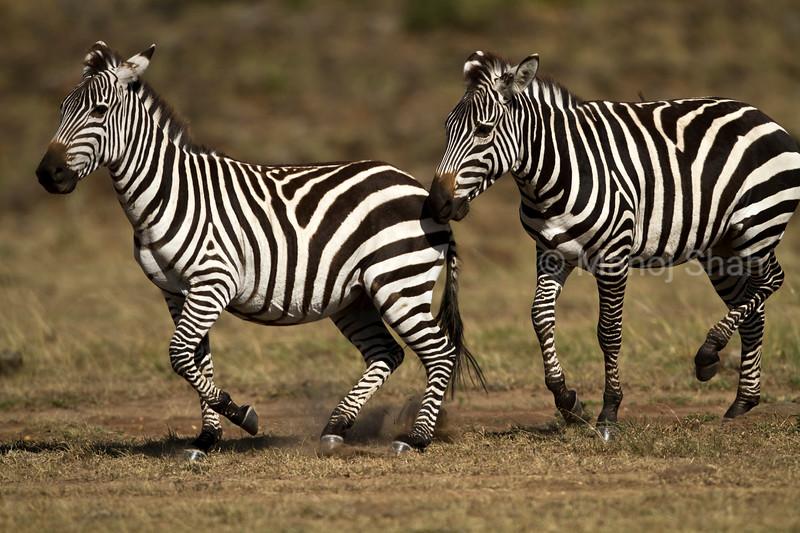 Zebras walking