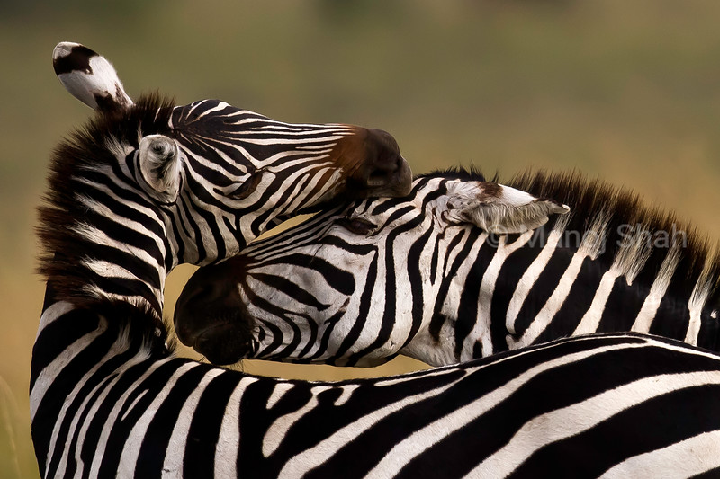 Zebra grooming