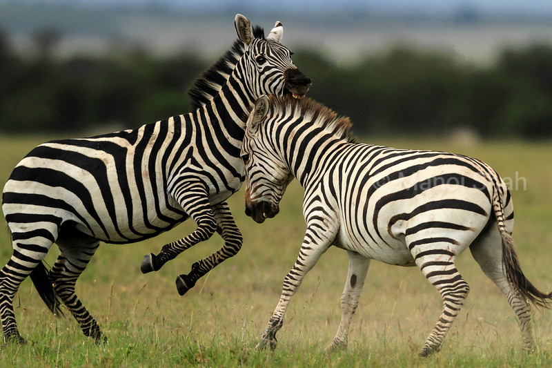Male Zebras fighting for supremacy in Mating season.