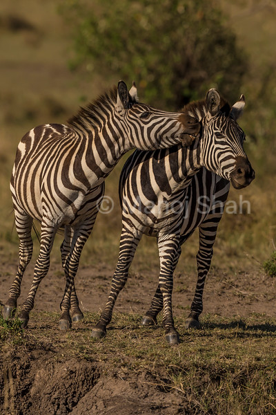 Male Zebras play fighting