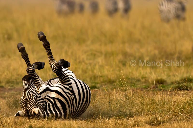 Zebra rolling on ground