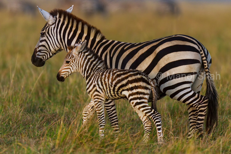 Zebra mother with her foal.