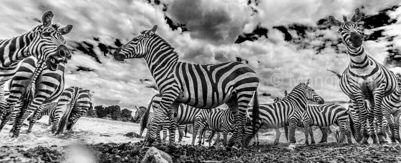 Zebras - herd at the river captured with hidden camera - Masai Mara National Reserve, Kenya