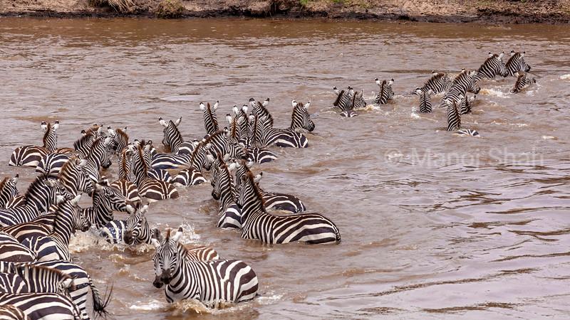 Zebras croccing Mara River in Masai Mara.