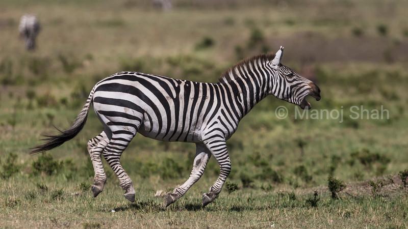 Zebra braying and running