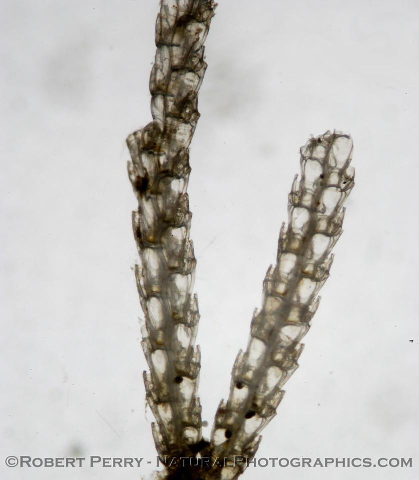 bryozoan colony debris 2007 07-03 SM Bay--010