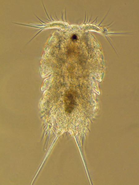 Harpacticoid copepod