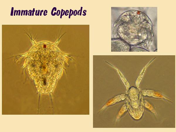 Copepod nauplius (pleural, nauplii)