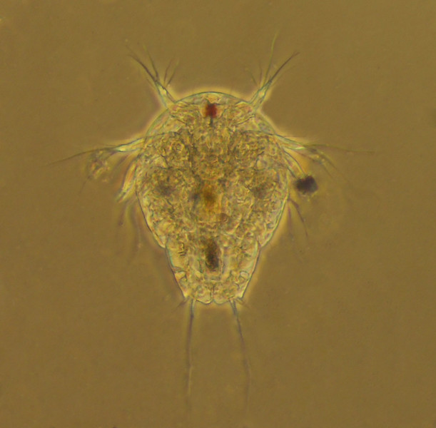 Copepod nauplius<br /> <br /> After hatching, a nauplius goes through 6 stages (5 or 6 molts) before changing into a copepodid, a miniature version of the adult.  A copepodid then undergoes 6 more molts to become a mature adult.