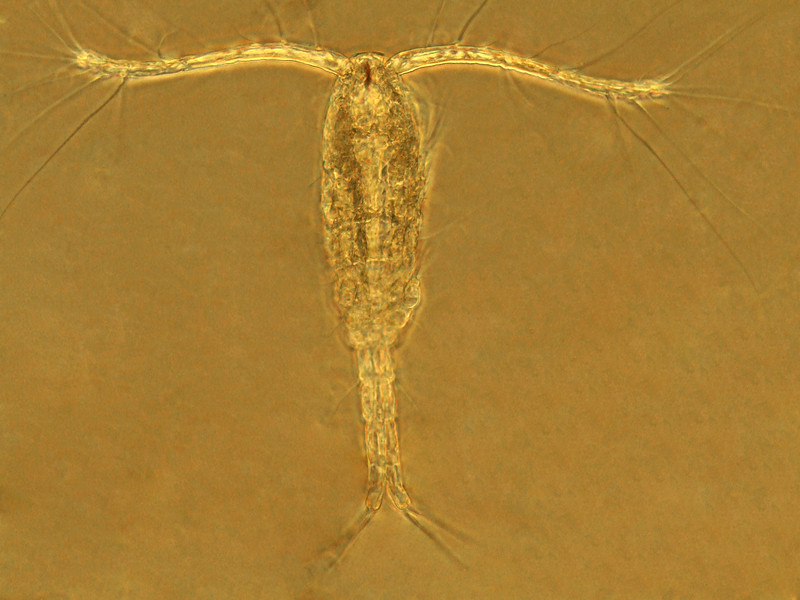 "Calanoid copepod<br /> <br /> For anything you want to know about copepods, published 2014:<br /> <br /> <a href=""https://www.researchgate.net/publication/309211809_Chaper_27_Copepoda"">https://www.researchgate.net/publication/309211809_Chaper_27_Copepoda</a>"