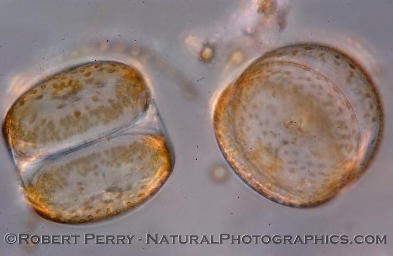Coscinodiscus granii pair composite2_Zuma_2005_03-03_229