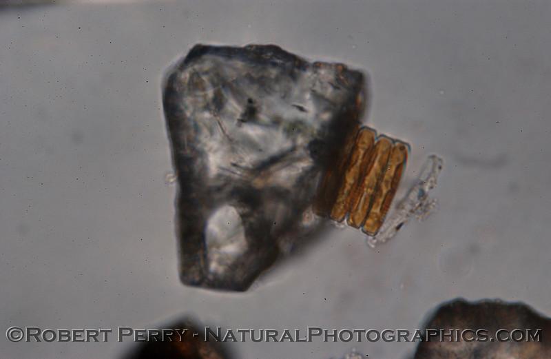 Plagiogramopsis vanheurckii Zuma_Nano_2004_12-21--325