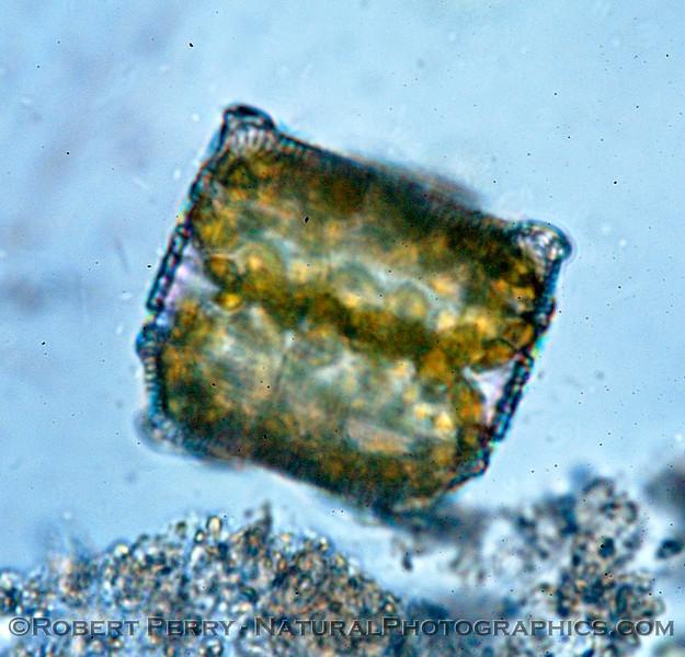 Aulacodiscus kittonii Zuma_2004_11-22-197modCROP