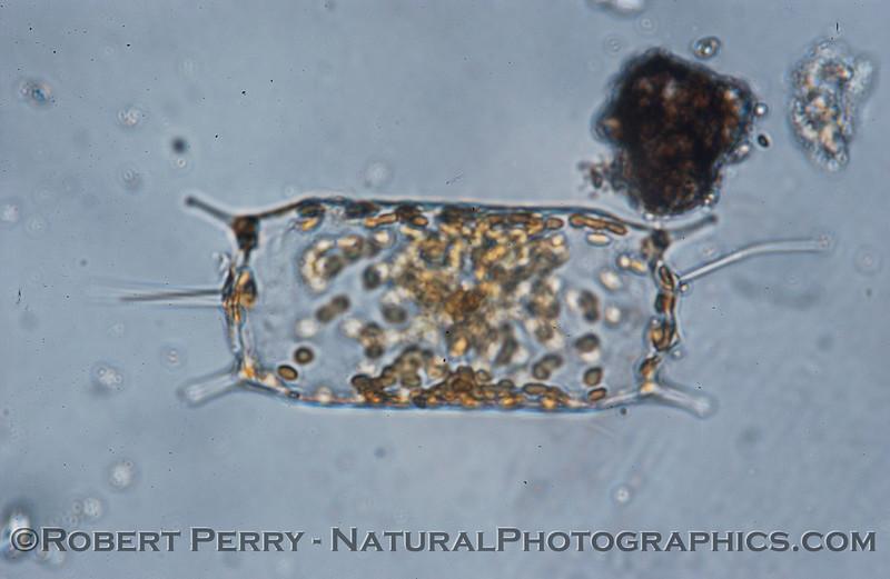 Odontella mobliensis Zuma_Micro_2005_01-24--095