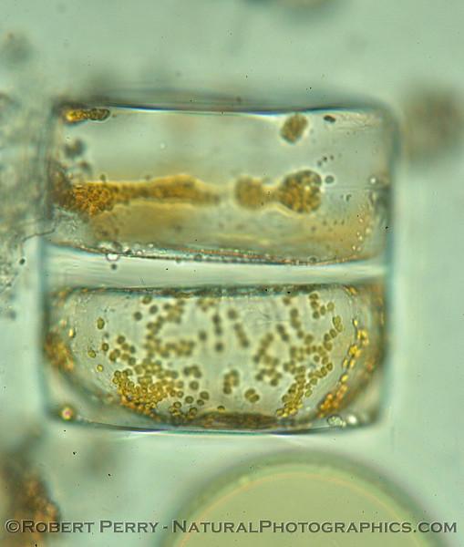 Coscinodiscus wailesii lateral Zuma_Micro_2005_01-24--252