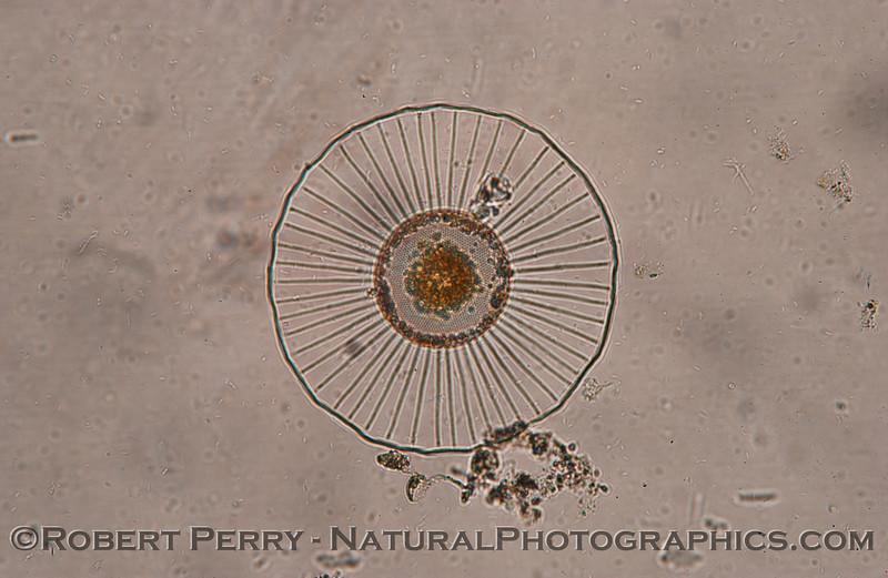 Planktoiella sol_Zuma_2005_02-03-233