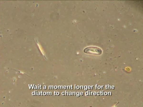 Diatom motility