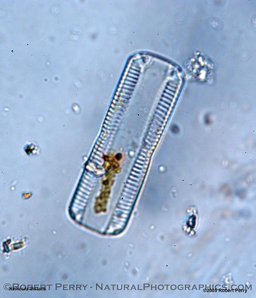Navicula distans Zuma_Micro_2005_01-06--011mod