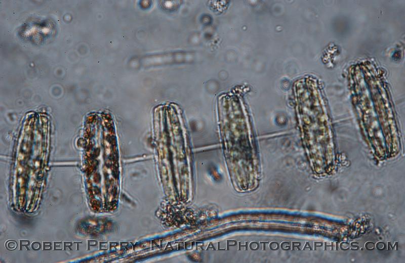 Thalassiosira rotula Zuma_Micro_2005_01-24--225