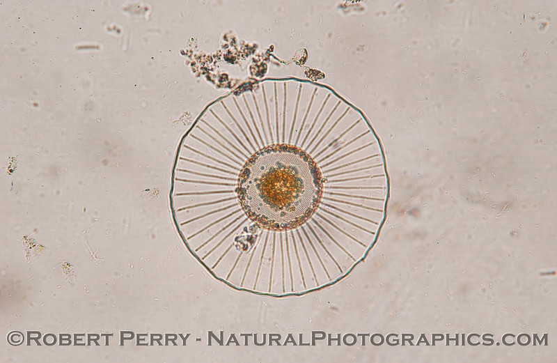 Planktoniella sol_Zuma_2005_02-03-235
