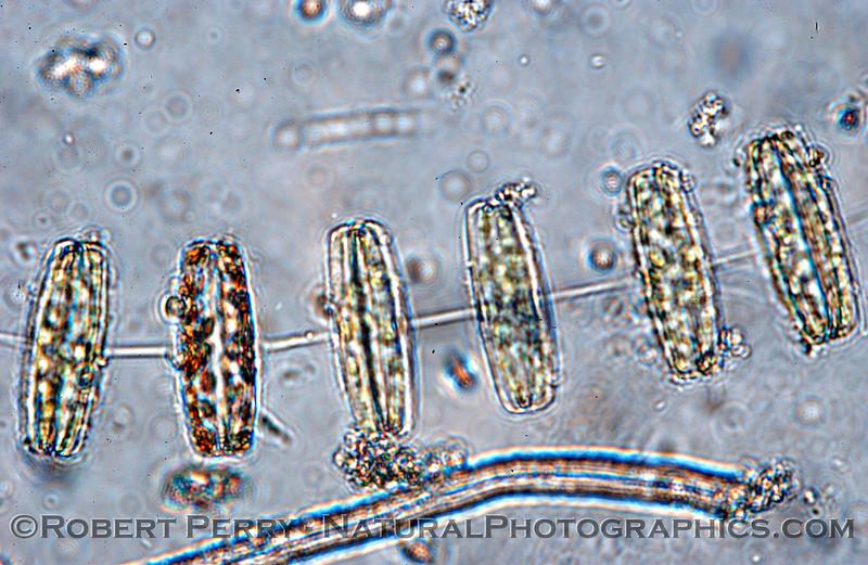 Thalassiosira rotula Zuma_Micro_2005_01-24--225mod