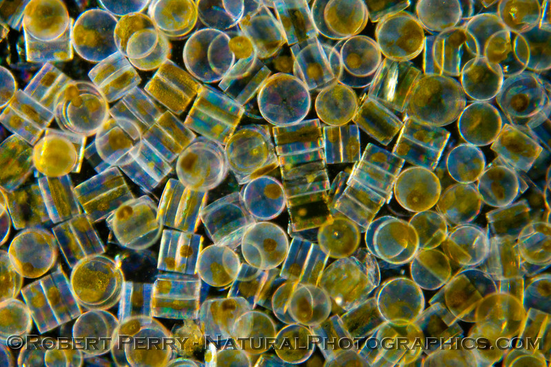 1-Coscinodiscus BLOOM 2012 03-29 Zuma-184