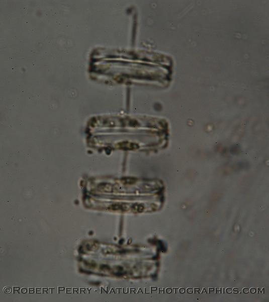 Thalasiosira rotula Zuma_Nano_2004_12-26--257