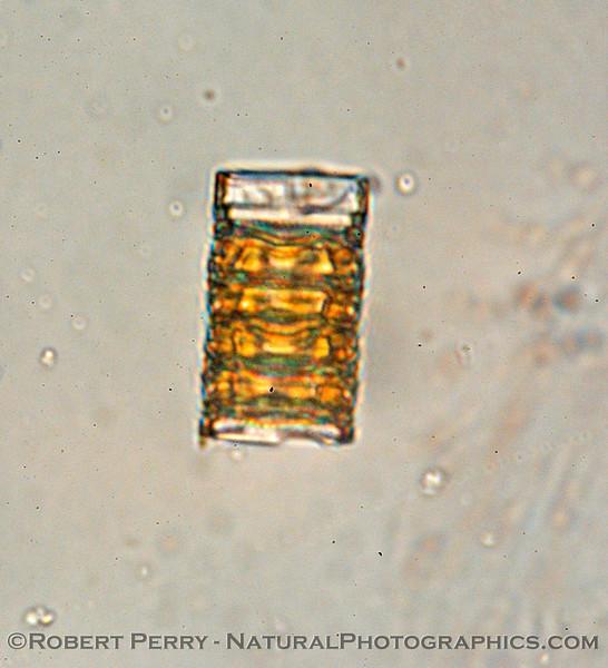 Plagiogrammopsis vanheurckii Zuma_Nano_2004_12-26--215
