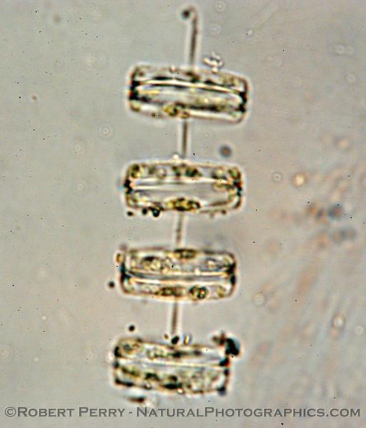 Thalasiosira rotula Zuma_Nano_2004_12-26--256