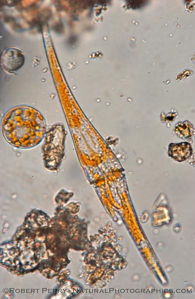 Ceratium fusus Zuma_Nano_2005_01-13--007