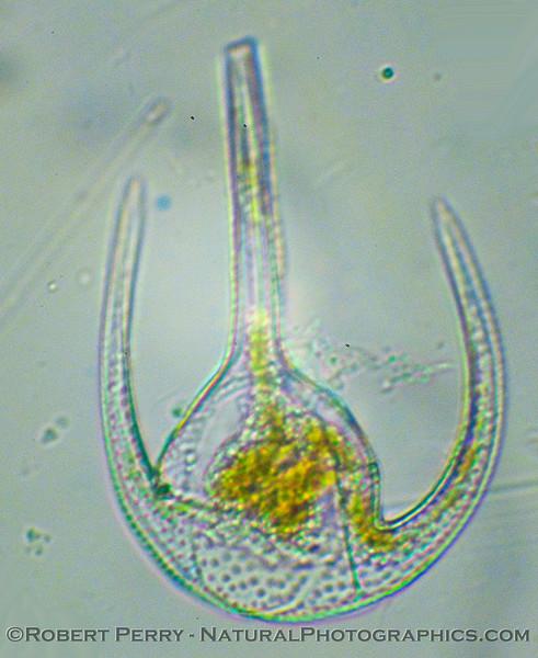 Ceratium azoricum 2011 02-10 Zuma Plankton - 004