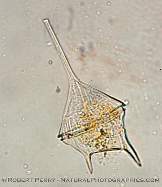 Ceratium lineatum Zuma_Nano_2004_12-26--191