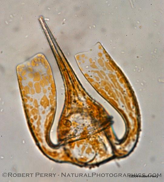 Ceratium platycorne Zuma_Nano_2004_12-05--078
