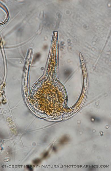 Ceratium azoricum_outside_del-Rey_2005_01-30--097