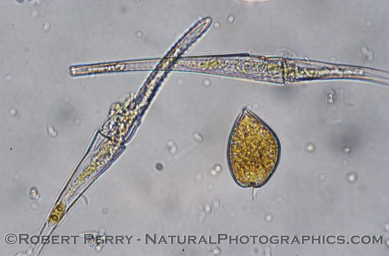 Ceratium fusus & Prorocentrum micans 2007 12-13 Zuma--285