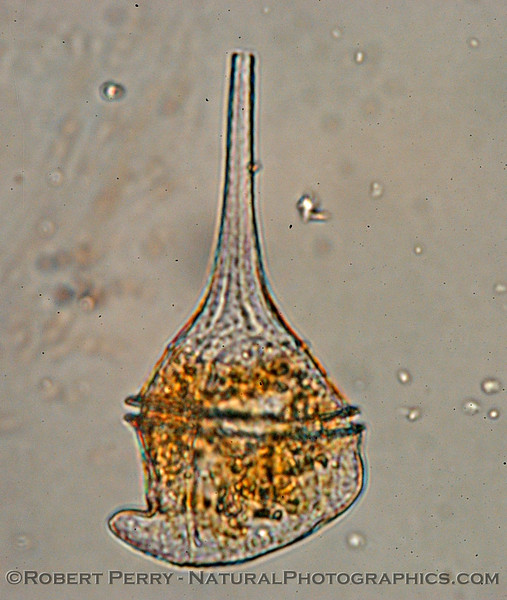 Ceratium divaricatum Zuma_Nano_2004_12-26--122