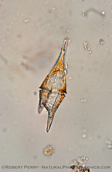 Ceratium furca Zuma_2004_11-29-267mod