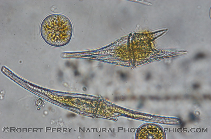Ceratium furca & fusus 2007 12-20 Zuma--003