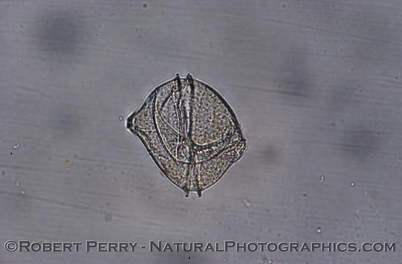 Lingulodinium polyedra 2007 12-13 Zuma--067