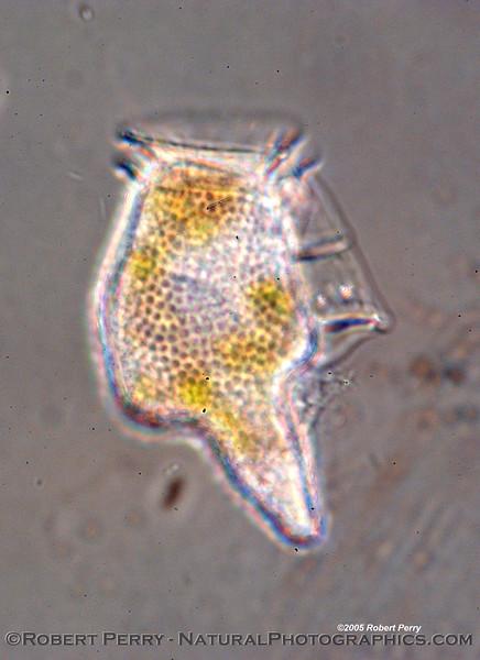 Dinophysis caudata composite Zuma_Nano_2005_01-13