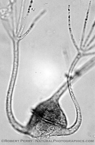 Ceratium ranipes B&W_Zuma_2005-03-04-005