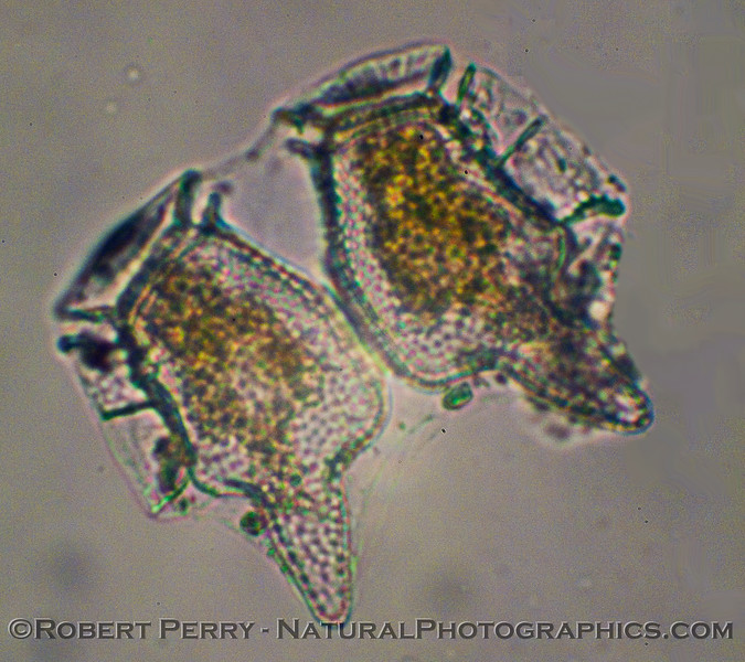 Dinophysis TWO just divided 2011 01-13 Zuma Plankton - 012