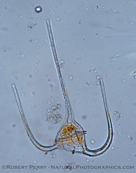 Ceratium macroceros Zuma_Micro_2005_01-24--179