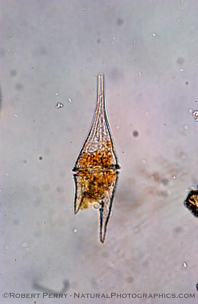 Ceratium furca Zuma_Nano_2004_12-05--150