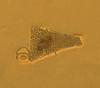 Broken piece of a centric diatom shell
