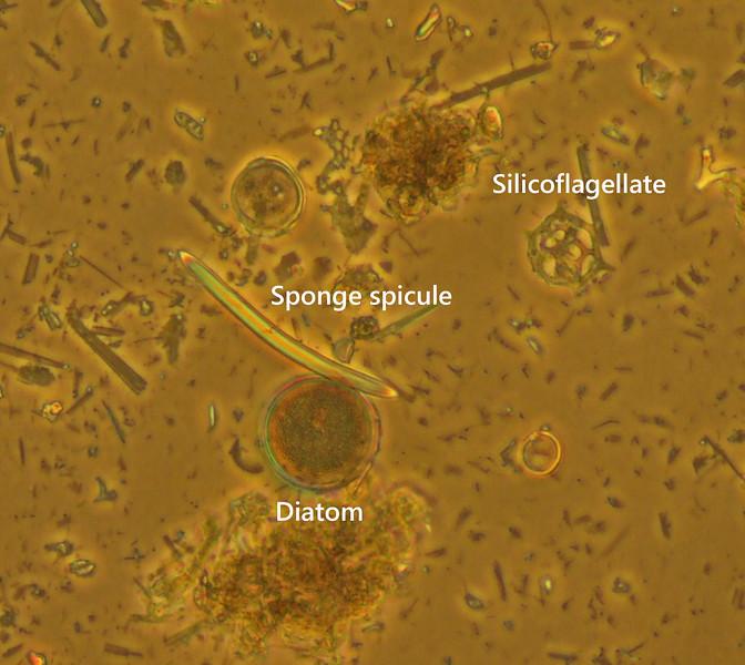 Sponge spicule