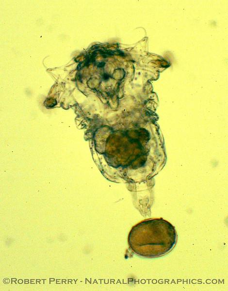 rotifer towing egg_Zuma_2005-03-11-042mod